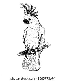 parrot cockatoo, cockatoo, tropical birds, cockatoo graphics, skit, bird, bird of paradise, best prints on t-shirt, vector, black and white graphics, hand-drawn, outline