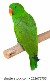 parrot isolated in white background