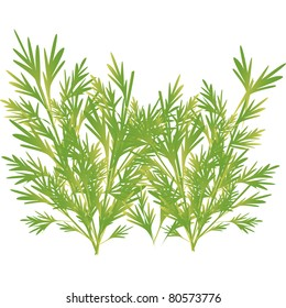 parsley, a plant that is used for seasoning