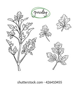 Parsley sprig and leaves/ Hand drawn culinary herbs and spices/ Parsley parts sketch collection/ Black outline on white background/ Vector illustration