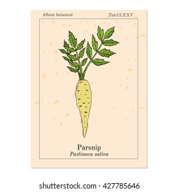 Parsnip (pastinaca sativa), root vegetable, hand drawn vector botanical illustration