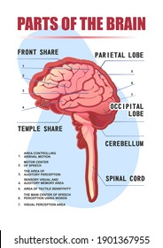 parts of the brain educational scheme, vector vertical poster illustration on white background