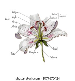 Parts of the flower infographics. Lily flower anatomy. Science for kids. Cartoon style vector illustration.