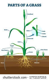 Parts of grass with educational labeled structure anatomy vector illustration. Simple plant growth example model with node, seedhead and blade location description scheme for biology and botany study.