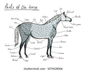 Parts of horse. Equine anatomy. Equestrian scheme with text. Cartoon hand drawing and hand written vector illustration with dapple grey horse color.