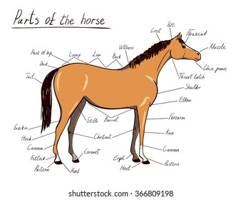 Parts Of Horse Images, Stock Photos & Vectors | Shutterstock