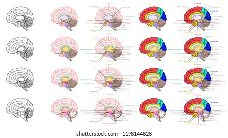 Parts of human brain anatomy side view