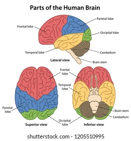 Parts of the human brain with labeled. Lateral, superior and inferior views of cerebrum. Vector illustration