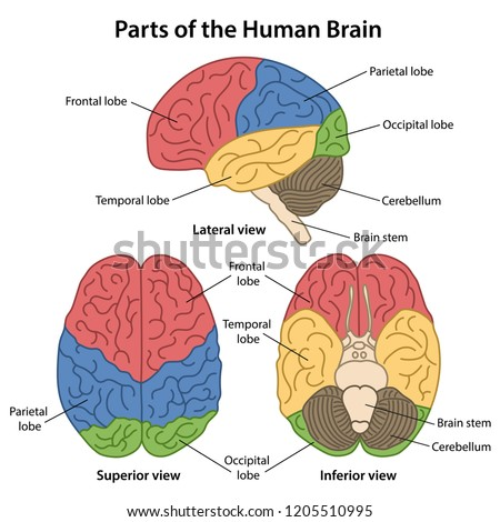 Parts Human Brain Labeled Lateral Superior Stock Vector ...