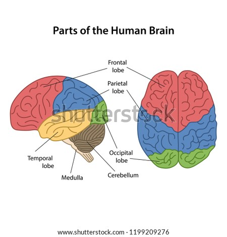 parts human brain main parts labeled stock vector (royalty freeparts of the human brain with main parts labeled lateral view and from above view