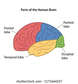 Parts of the human brain. Vector illustration