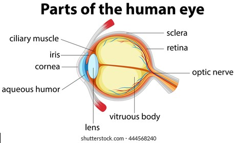 Parts of human eye with name illustration