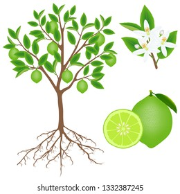 Parts of a lime plant on a white background.