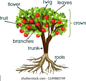Parts of plant. Morphology of apple tree with root system, flowers, fruit and titles