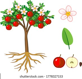 Parts of plant. Morphology of apple tree with fruits, flowers, green leaves and root system isolated on white background