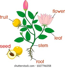 Parts of plant. Morphology of flowering plant with root system, flowers, fruit and titles