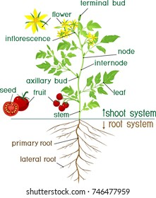 Parts of plant. Morphology of flowering tomato plant with title