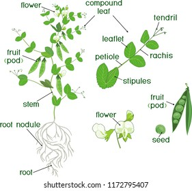 parts of plant  morphology of pea plant with fruits, flowers, green leaves  and