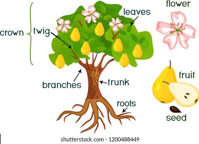 parts of plant  morphology of pear tree with fruits, flowers, green leaves  and