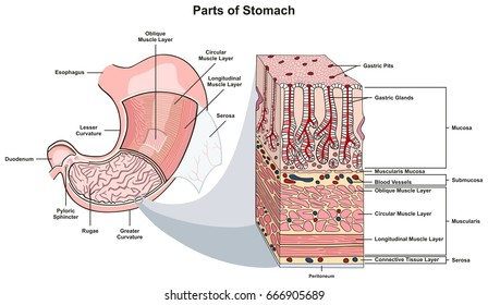 Stomach Anatomy Images, Stock Photos & Vectors | Shutterstock