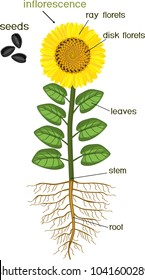 Parts of sunflower plant. Morphology of flowering plant with root system, flower, seeds and titles
