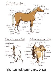 Parts of western horse, saddle, bridle set. Equine anatomy. Equestrian scheme text. The terms of riding tack gear tool cowboy harness. Cartoon vector