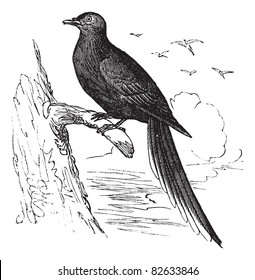 Passenger Pigeon or Wild Pigeon (Ectopistes migratorius), vintage engraved illustration. Passenger pigeon perched on tree branch. Trousset encyclopedia (1886 - 1891).
