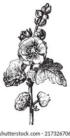 Passerose or Hollyhock or Pass pink or Rose papal, vintage engraved illustration. Dictionary of words and things - Larive and Fleury - 1895.