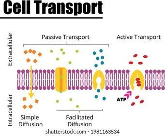 Passive vs Active cell transport vector illustration