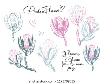 Pastel protea flowers and sign. Watercolor outline, soft color graphic. Vector illustration on white backdrop.