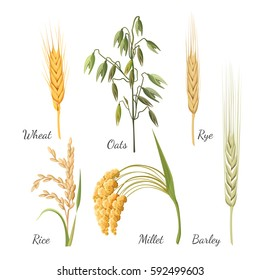 Pattern with cereals in realistic style on white background. Barley grass, golden wheat, one rye, grains of rice, yellow millet and green oat vector illustration