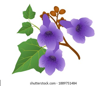 Paulownia flowers with leaves and buds isolated on white background.