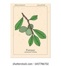 Paw-paw (Asimina triloba), medicinal plant. Hand drawn botanical vector illustration
