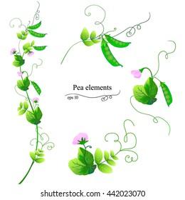 Pea elements. Pisum sativum. Mange tout. Snap pea. Garden pea. Eps 10 vector set. Collection of pisum elements. Sweet pea. Field pea.
