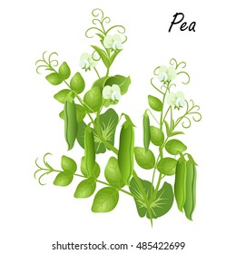 Pea  (Pisum sativum). Hand drawn vector illustration of pea plant with flowers and seed pods on white background