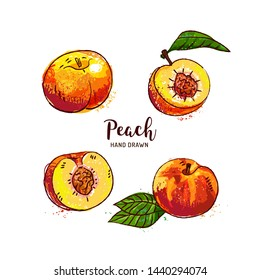 Peach fruit drawing, ripe peach fruit cut in half with bone. Watercolor peaches on a white background. Vector isolated illustration