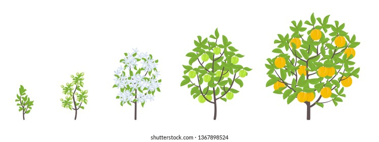 Peach tree growth stages. Vector illustration. Ripening period progression. Fruit tree life cycle animation plant seedling. Peach increase phases. Color Illustration clipart.