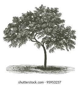 """Peach tree- vintage engraved illustration - """"Dictionnaire encyclopedique universel illustre"""" By Jules Trousset - 1891 Paris"""