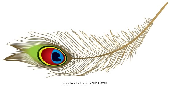 The peacock feather in vector