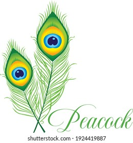 peacock feathers white background vector illustrator