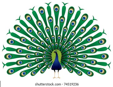 Peacock raise his feathers, vector image. The Indian Peafowl or Blue Peafowl (Pavo cristatus) is a large and brightly colored bird of the pheasant family native to South Asia