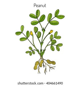 Peanut, or groundnut (Arachis hypogaea). Hand drawn botanical vector illustration