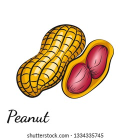 Peanut, groundnut in vector. Vector illustration of peanut in a nutshell and without it drawn by hand. Closeup image for wrapping and packaging food design on a white background.