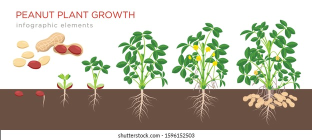Peanut growing stages vector illustration in flat design. Planting process of groundnut plant. Peanut growth from seed to flowering and fruit-bearing plant isolated on white background. Ripe peanuts.