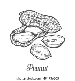 Peanut nut seed vector. Isolated on white background. Peanut butter food ingredient. Engraved hand drawn peanut illustration in retro vintage style. Organic Food, cosmetics, treatment component