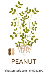 Peanut plant with leaves, stem and roots. Vector illustration.
