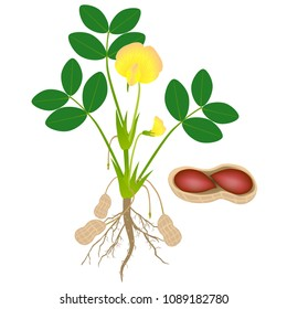 Peanut plant with seeds isolated on white background.