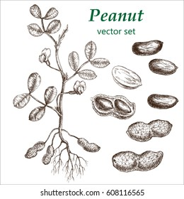 Peanut  plant set. The illustration in vintage style. Picture made by hands with ink.