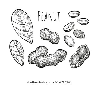 Peanut set. Ink sketch of nuts. Hand drawn vector illustration. Isolated on white background. Retro style.