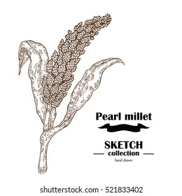 Pearl Millet sketch. Hand drawn cereal. Vector illustration